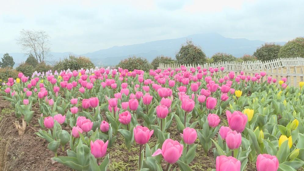 巴山花海:鲜花美景引客来 助农增收奔小康
