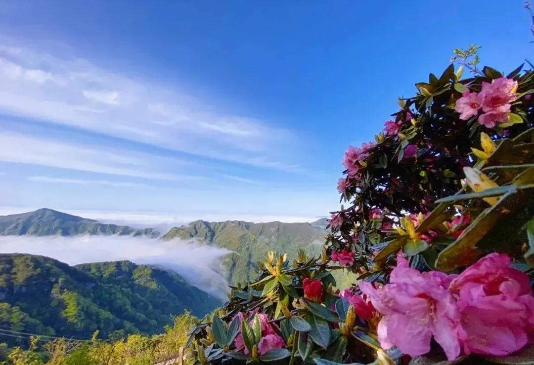 赏花正当时!光雾山的杜鹃花开了