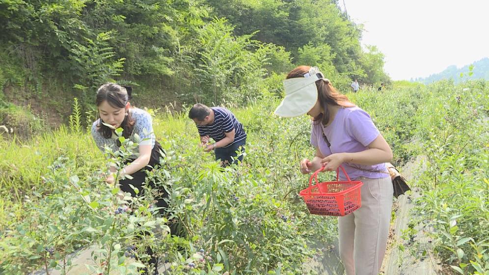 大茅坪镇:蓝莓成熟挂满枝 入园采摘正当时